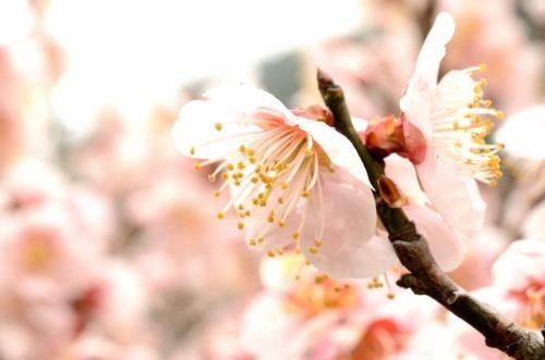 梅の花2s
