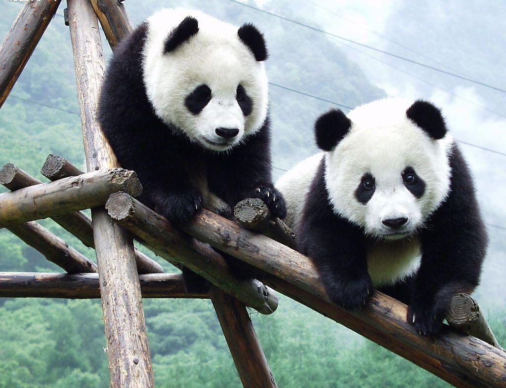Giant-Panda-3.jpg