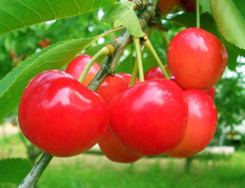 cherry001.jpeg