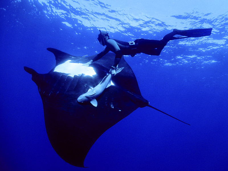 giant-manta-ray-and-free-diver-mexico-800x600.jpg