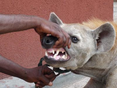 hyena3.jpeg