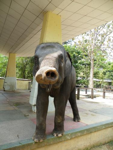 ヤンゴンの動物園のゾウ2