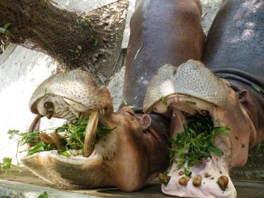 ヤンゴンの動物園のカバ2