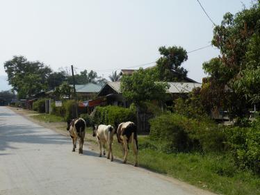 ニャウンシェを歩く牛達