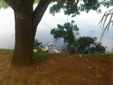 キャンディ湖のアヒル2