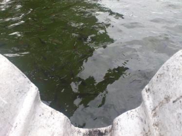キャンディ湖の魚
