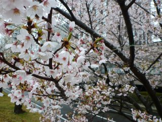 s水戸の桜3