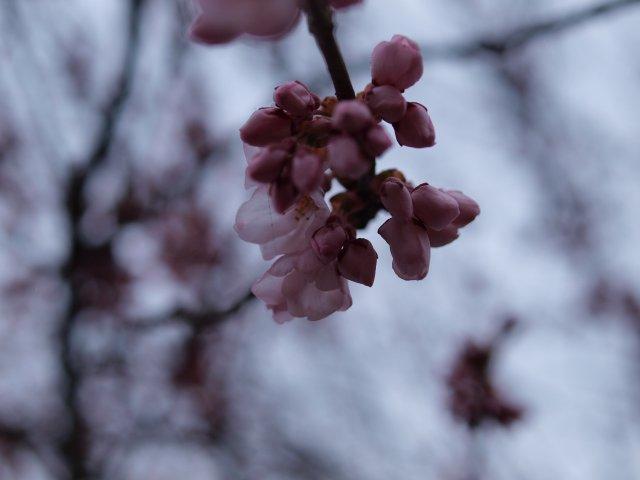 s0421桜1