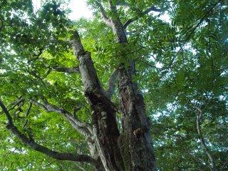 s05大きなブナの木1