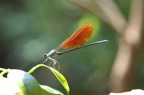 s-アサヒナカワトンボ0527