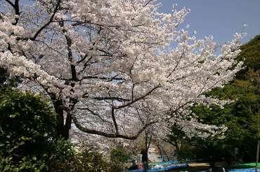 飛鳥山公園 980-asu-saku