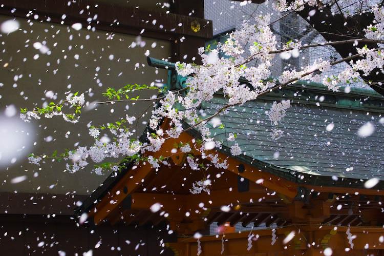 靖国n桜吹雪 a0099808_11435826