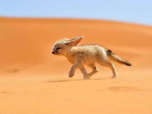 番外の砂漠きつねさんのimage