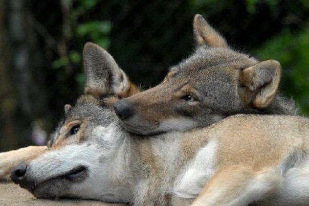 オオカミの一夫一婦制のimage