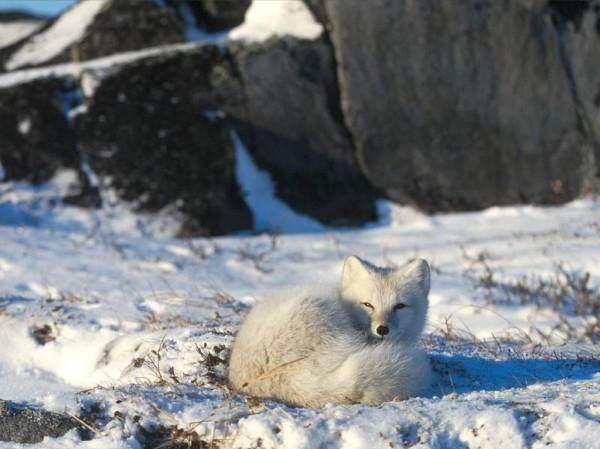 初冬の白キツネimage