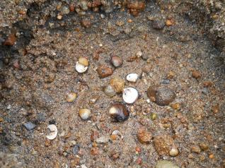 猪苗代湖の貝殻