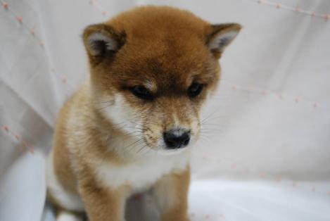 豆芝犬の可愛いフリー写真