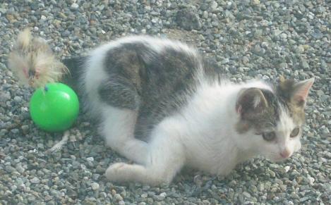 野良猫出身の子猫が猫じゃらしの付いたボールで遊んでいる光景をデジカメ写真撮影して可愛い