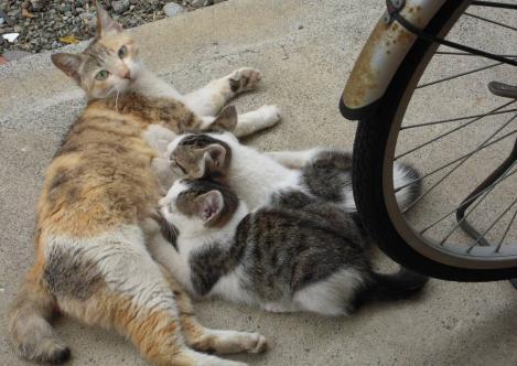 子猫たちがママのお乳を飲んでるところをデジカメ写真撮影しましたが子猫たちは飲むのに一生懸命でしたわ
