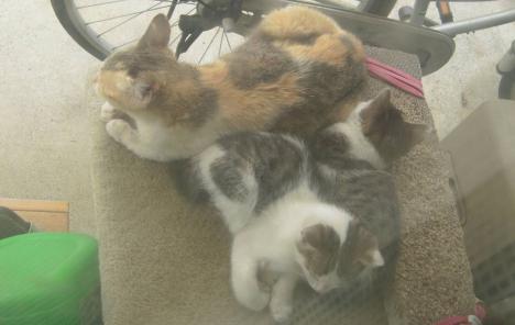 朝方に野良猫出身の地域猫親子がキャットタワーでたたずんでいる所をデジカメ写真で画像化にしたぜい