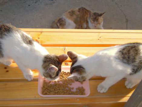 子猫の食事を待つ親猫であり子猫が残したエサを親猫が食べるデジカメ写真撮影よ
