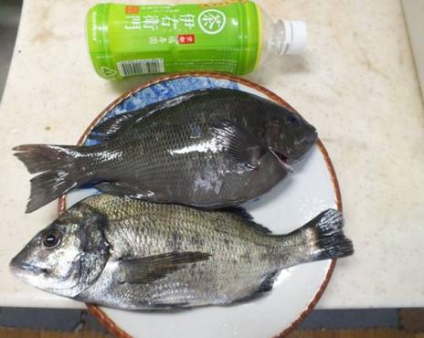 夏日に駿河湾は沼津市多比で30センチクラスの黒鯛を2匹釣り上げた時のシャメ