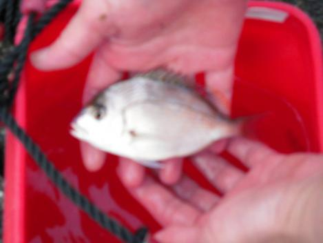 真鯛を駿河湾で釣った時のデジカメ写真です