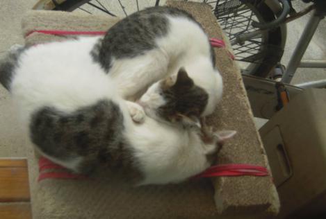 窓の外側に置いてる猫の爪とぎ付きキャットタワー上で仲良く眠る猫姉妹をデジカメ写真撮影できた