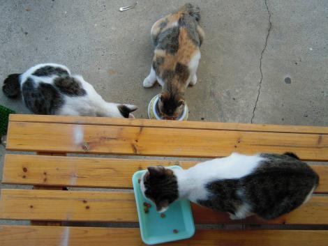 猫兄妹2匹にエサをあげてるが親猫のノーラが来る時もある所をデジカメ写真撮影できた