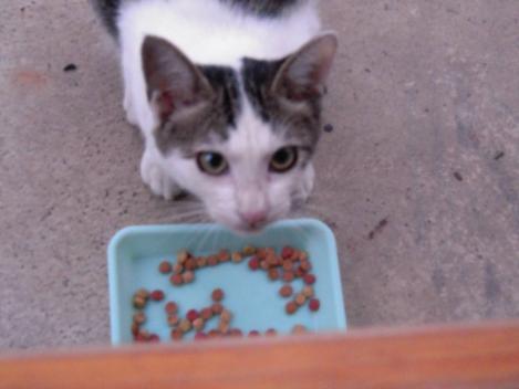 エサを食べてる猫兄妹の妹分の可愛いニコちゃんをデジカメ写真撮影