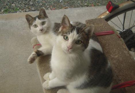 兄妹猫のイッコとニコがキャットタワー上でカメラ目線でポーズ写真