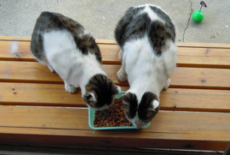 縁台で兄妹猫の2匹は仲良くエサを食べれる様になった時をデジカメ写真で撮影
