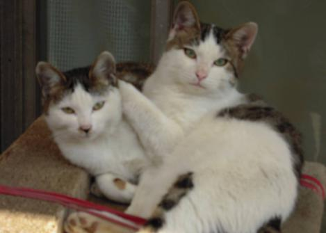 2匹の兄妹猫はいつも互いに触れ合ってキャットタワーで寝そべってる所をデジカメ撮影