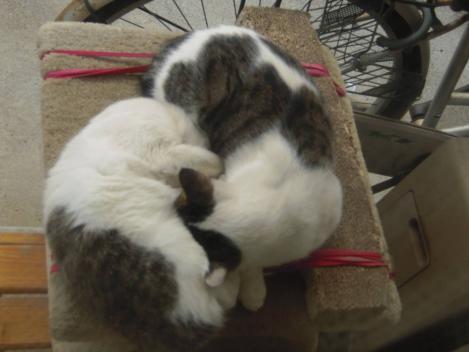 2匹の兄妹猫はキャットタワー上で昼寝する時も寄り添って仲良く寝てる所をデジカメ撮影した