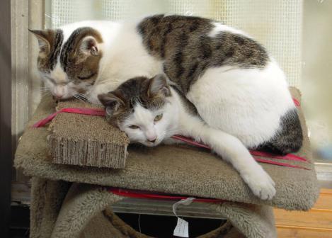 暖かい静岡県のテラスのキャットタワー上で妹猫が兄猫を温める様に被さる光景をデジカメ撮影した