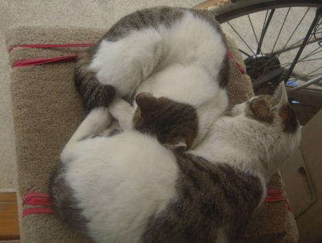 キャットタワー上で顔の寒さを防ぐ為に兄猫が妹猫の腹に顔を埋めている光景の兄妹猫をデジカメ写真撮影した