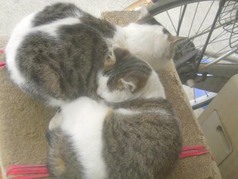 兄妹猫の兄猫が妹猫の暖かさに触れて妹猫を自由にさせてない状況をデジカメ写真撮影した