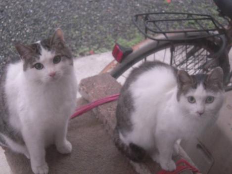 キャットタワーに兄妹猫で向かって左側が妹猫のニコで右側が兄猫のイッコ