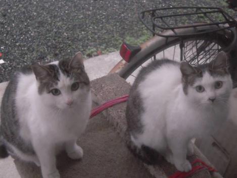 兄妹猫はやはり同じ血をわけており、よく似ているのをデジカメ写真撮影した