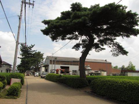反野畷の松並木