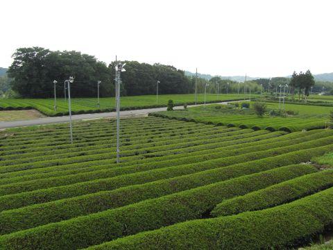 前野の茶畑
