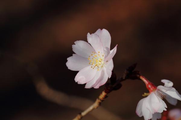 森の交流センター 十月桜 140124 01
