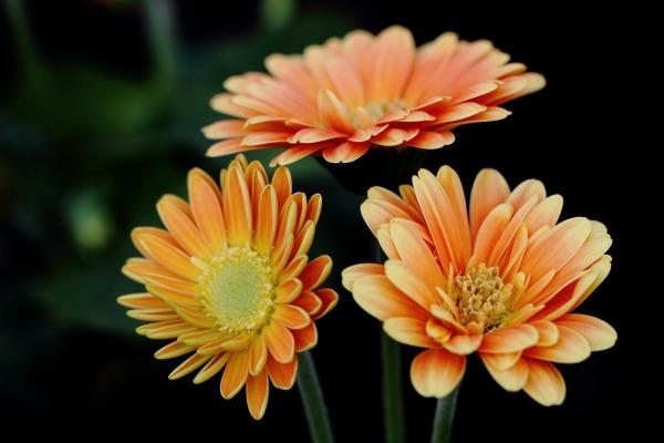 花き研究指導室 ガーベラ 140124 01