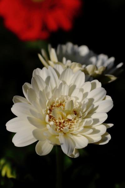 花き研究指導室 ガーベラ 140124 03
