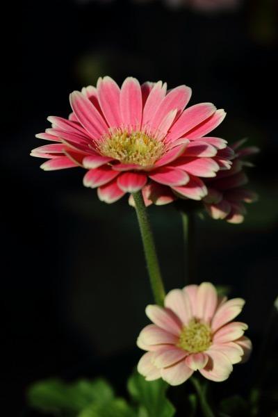 花き研究指導室 ガーベラ 140124 04