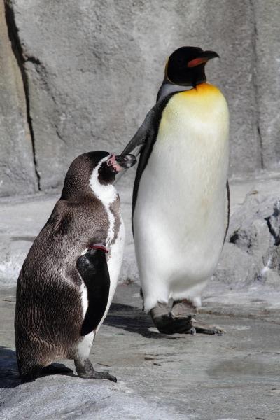 TobeZoo オウサマペンギン 140129 001