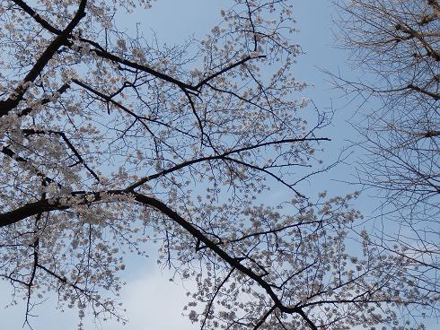 今年もきれい  3/24