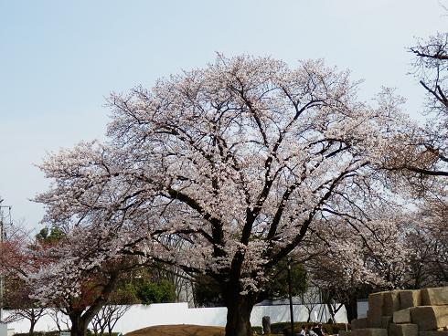 公園にも桜  3/24