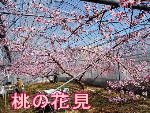 桃の花見  2825