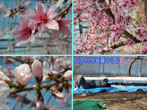 桃の花満開  2/25